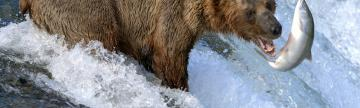 Alaska wildlife tours and brown bear fishing for salmon