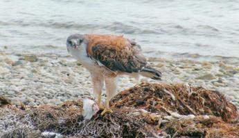 Variable hawk at Pebble Island, formerly red backed hawk