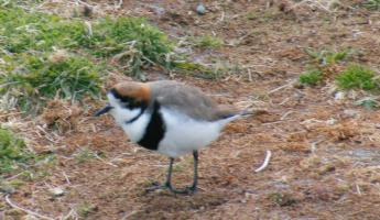 two ringed plover on Sea Lion Island