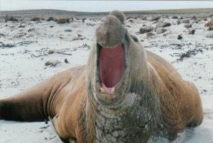 Bull elephant seal on Sea Lion Island, Falkland Islands