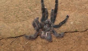 Pink-toed tarantula, part of the welcoming committee at Rainforest Expeditions.