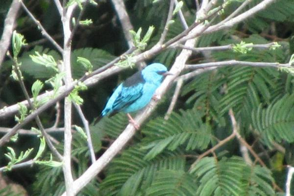 One of the blue dacnis we saw from the canopy tower.  Gorgeous little bird!