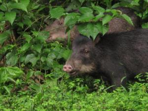 White-lipped peccaries roaming around TRC.