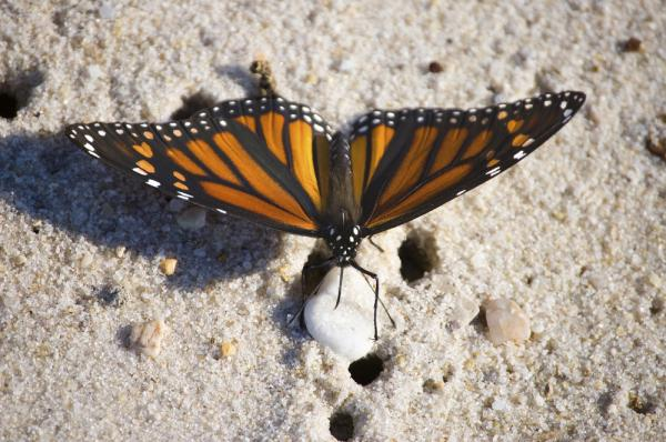 Monarch butterfly found on a beach tour