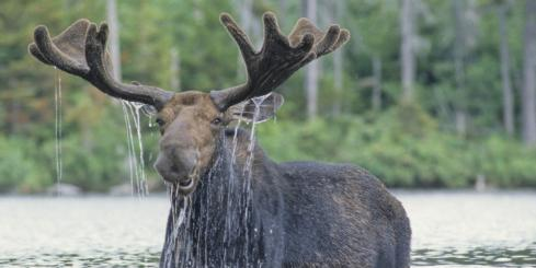 Moose found on an Alaska wildlife tour