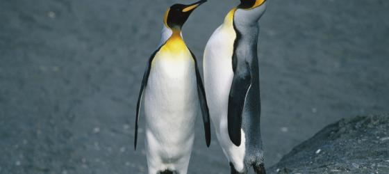Pair of King penguins on an Antarctica cruise