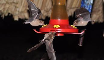 Bats stealing nectar from the hummingbird feeders at Pook's Hill