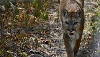 A puma struts his stuff at the Belize Zoo.