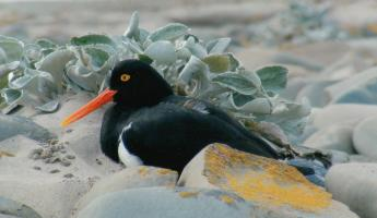 Magellanic Oystercatcher on Sea  Lion Island