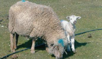 Mother and lamb with raincoat on Saunders Island