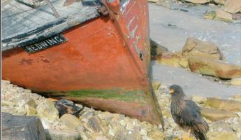 Shipwreck and  Striated Caracara on West Point Island