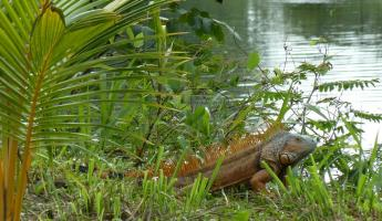 Iguana spotted on a birding tour