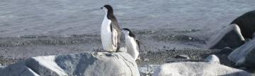 Chinstrap Penguins during wildlife tour