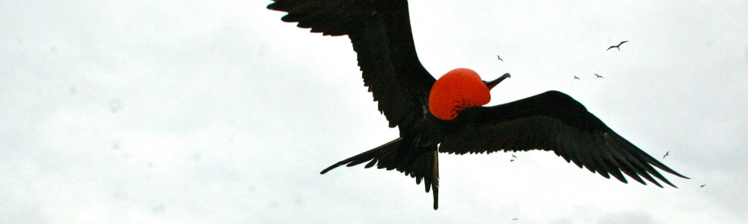 Frigate birds in flight over the Galapagos