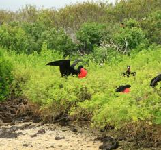 frigate birds in the bushes