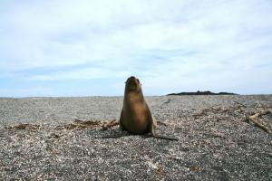 A solo sea lion in the Galapagos