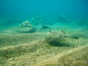 Galapagos sting ray seen while snorkeling