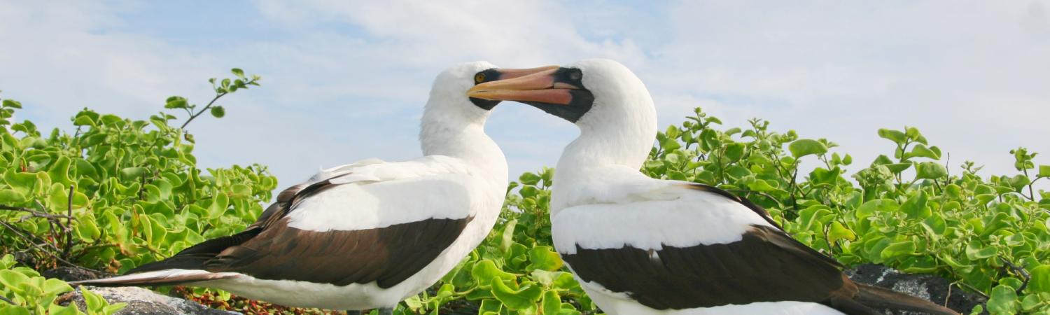 A pair of masked boobies in the Galapagos