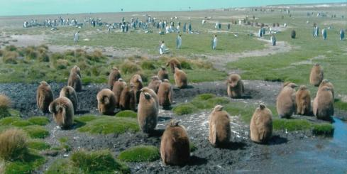King  Penguin chicks at Volunteer Point