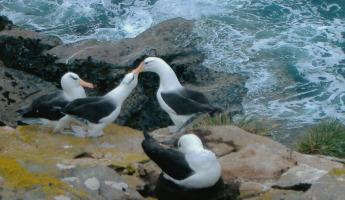 Black Browed Albatross courtship behaviour - Saunders Island