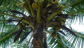 Can you climb a palm tree for a coconut?