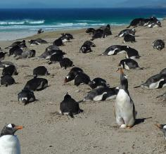 Gentoo rookery, West Falklands