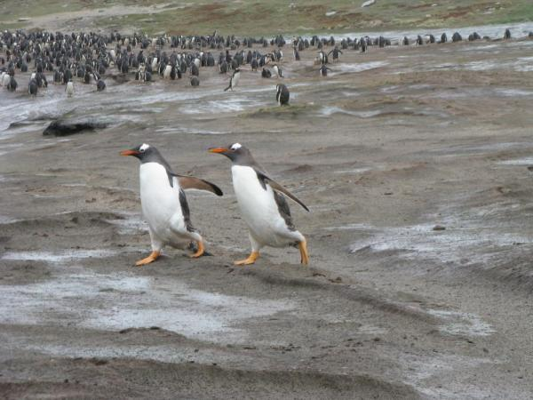 Gentoo penguin crossing at Grave Cove, Falkland Islands