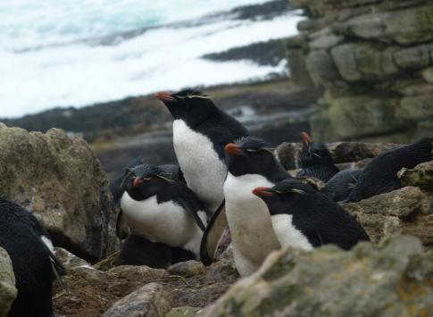 Rockhopper penguins resting in New Island, Falkland Islands
