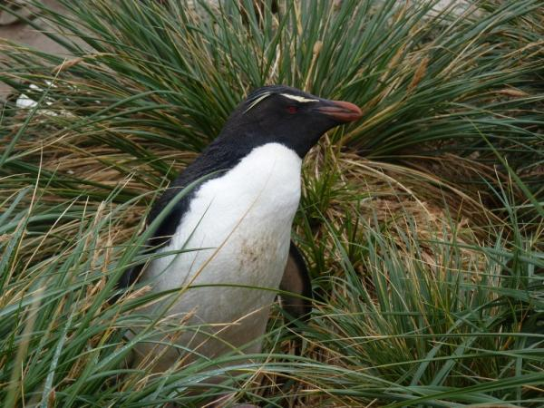 Rockhopper pengui hide &seek at New Island, Falkland Islands