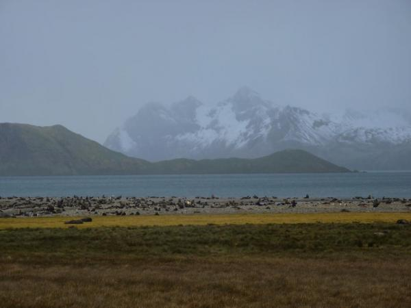 Field of fur seals at Stromness Bay, South Georgia