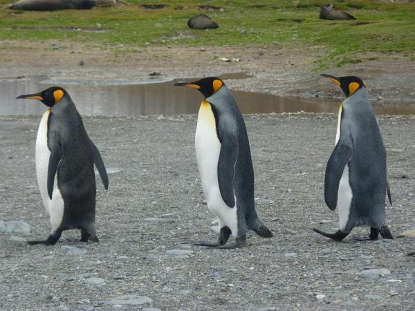 King penguins strutting their stuff, South Georgia Island