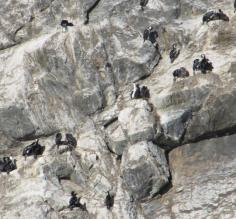 Cormorant colony