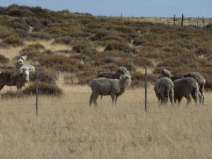 Rincon's thousands of sheep!