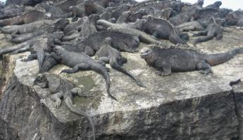 A herd of marine iguanas sunning themselves on a rock in the Galapagos