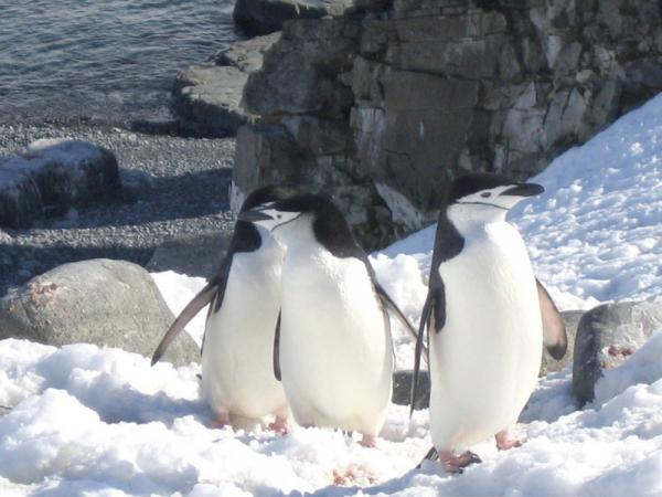 Chinstrap penguins during Antarctic travel