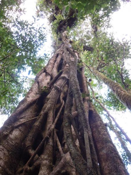 "Strangler fig at Bosque de Paz. One of the many ""Ents\"" in the forest."