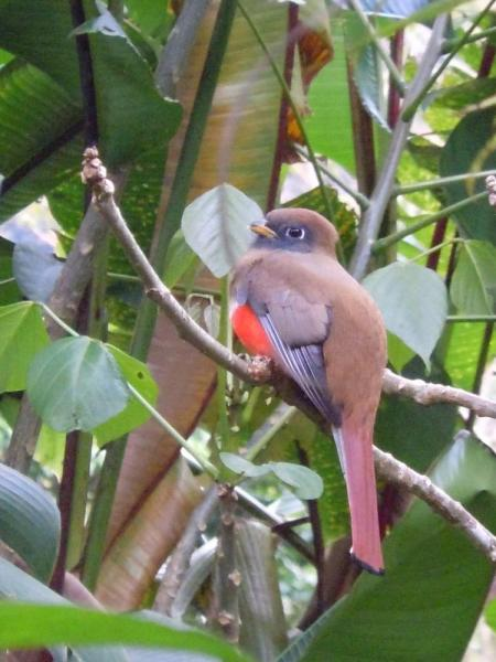 Trogon that posed for us in the Orchid Garden