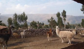 Llamas on the road to Tauca Pass