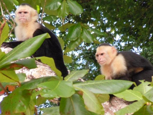Orchid hunting Capuchin monkeys at Manuel Antonio National Park