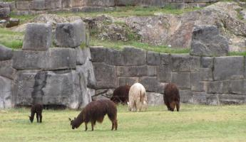 Llamas and alpacas at Sacsawayman