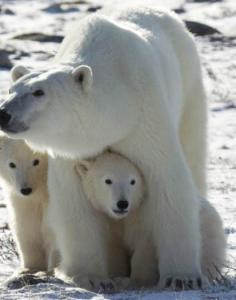 A polar bear with her young cubs