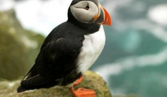 A colorful puffin sits on the rocks