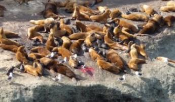 Sea Lion giving birth in foreground...red is placenta