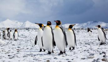 King Penguins exploring their territory