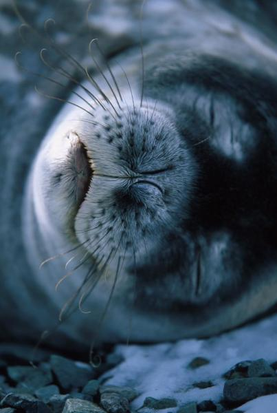 A Weddell Seal takes a nap