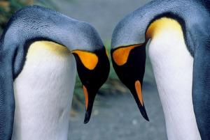 Beautiful King Penguins