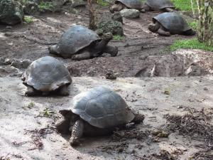 A group of giant tortoises in the Galapagos