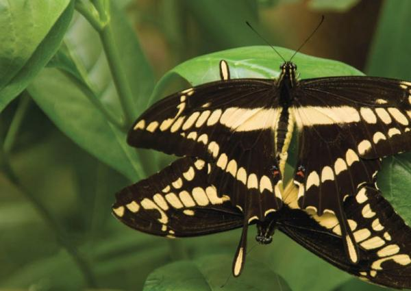 The Swallowtail Butterfly is just one of thousands of species on the reserve
