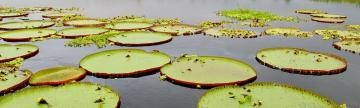 Giant lily pads on the Amazon River