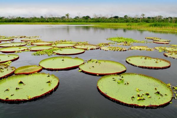 Giant water lilies, called Victoria Regia, floating in the Amazon